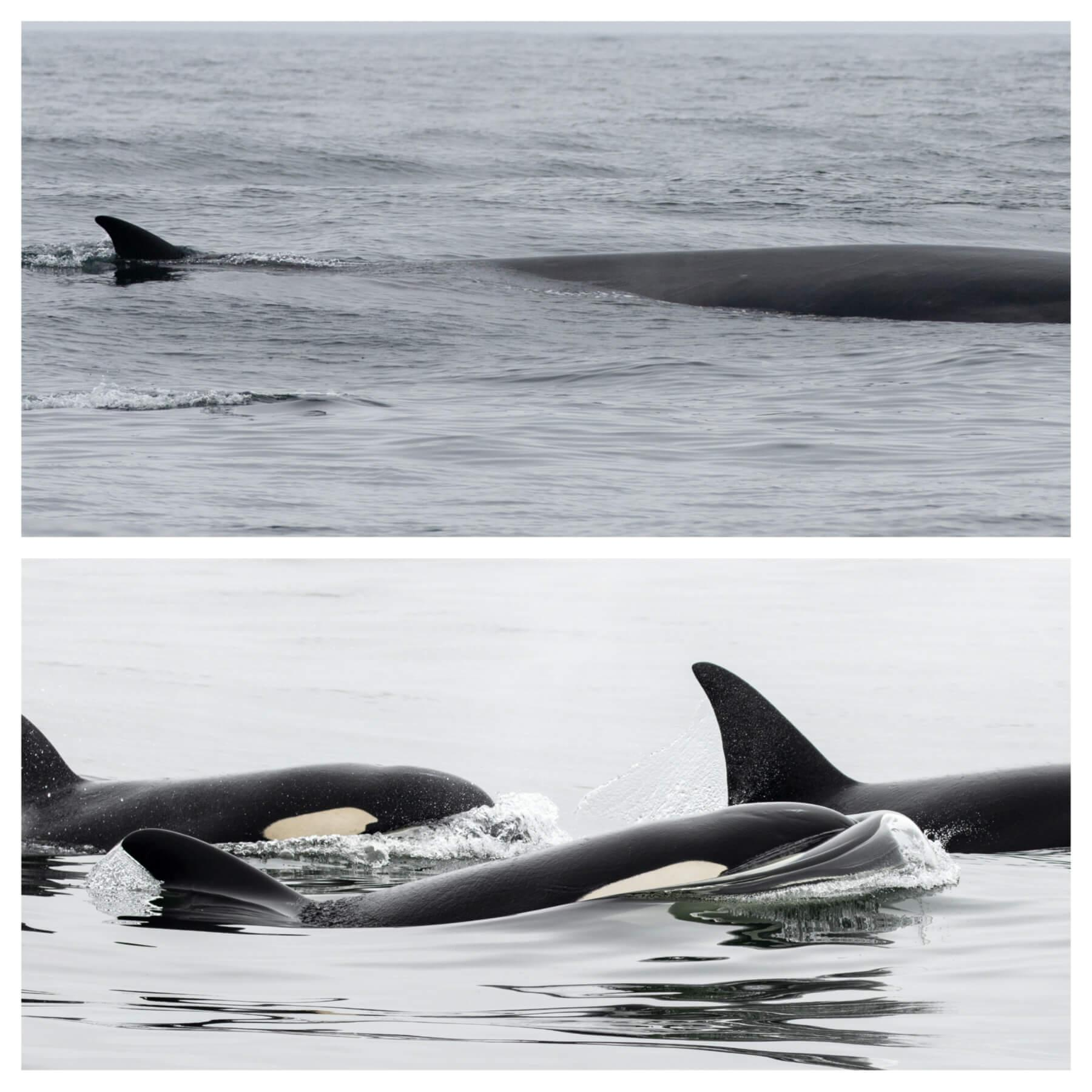 Fin whale (top), killer whales (bottom). © Chris Biertuempfel