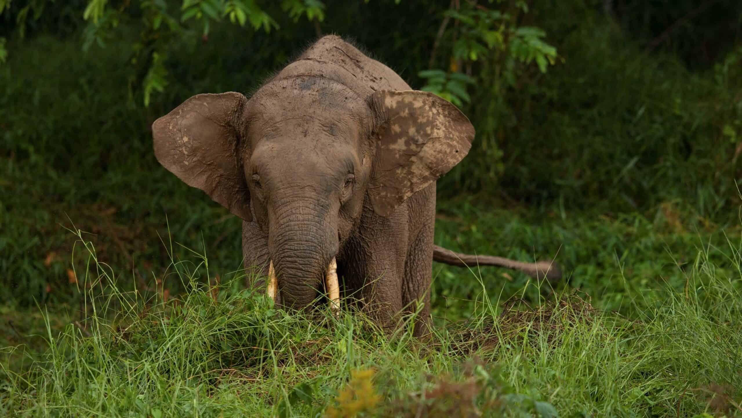 A Borneo pygmy elephant. © Charles Ryan