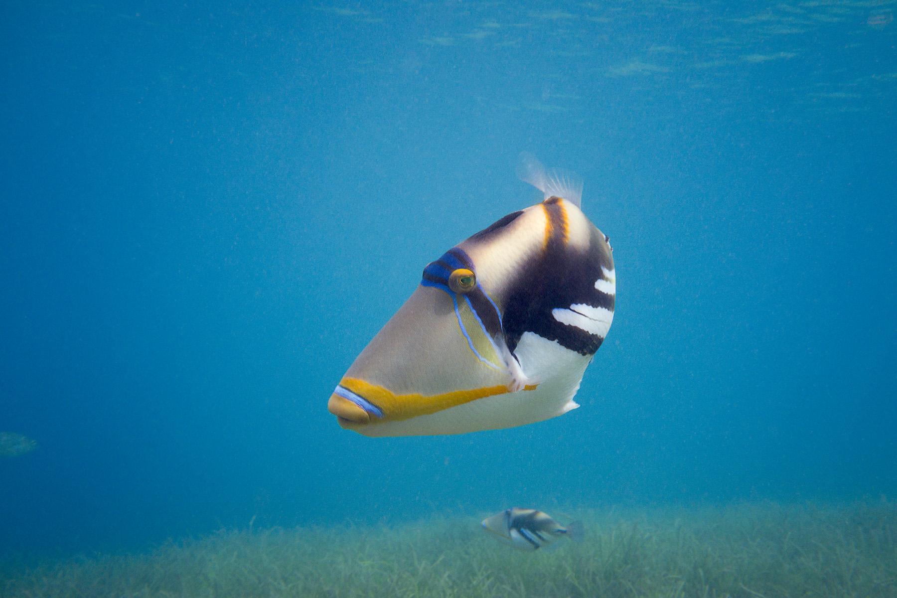 Picasso triggerfish Tonga