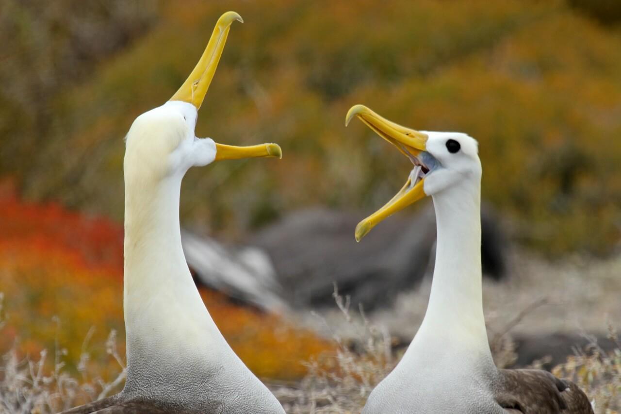 Waved Albatross perform their courtship ritual. © Wayne Sentman