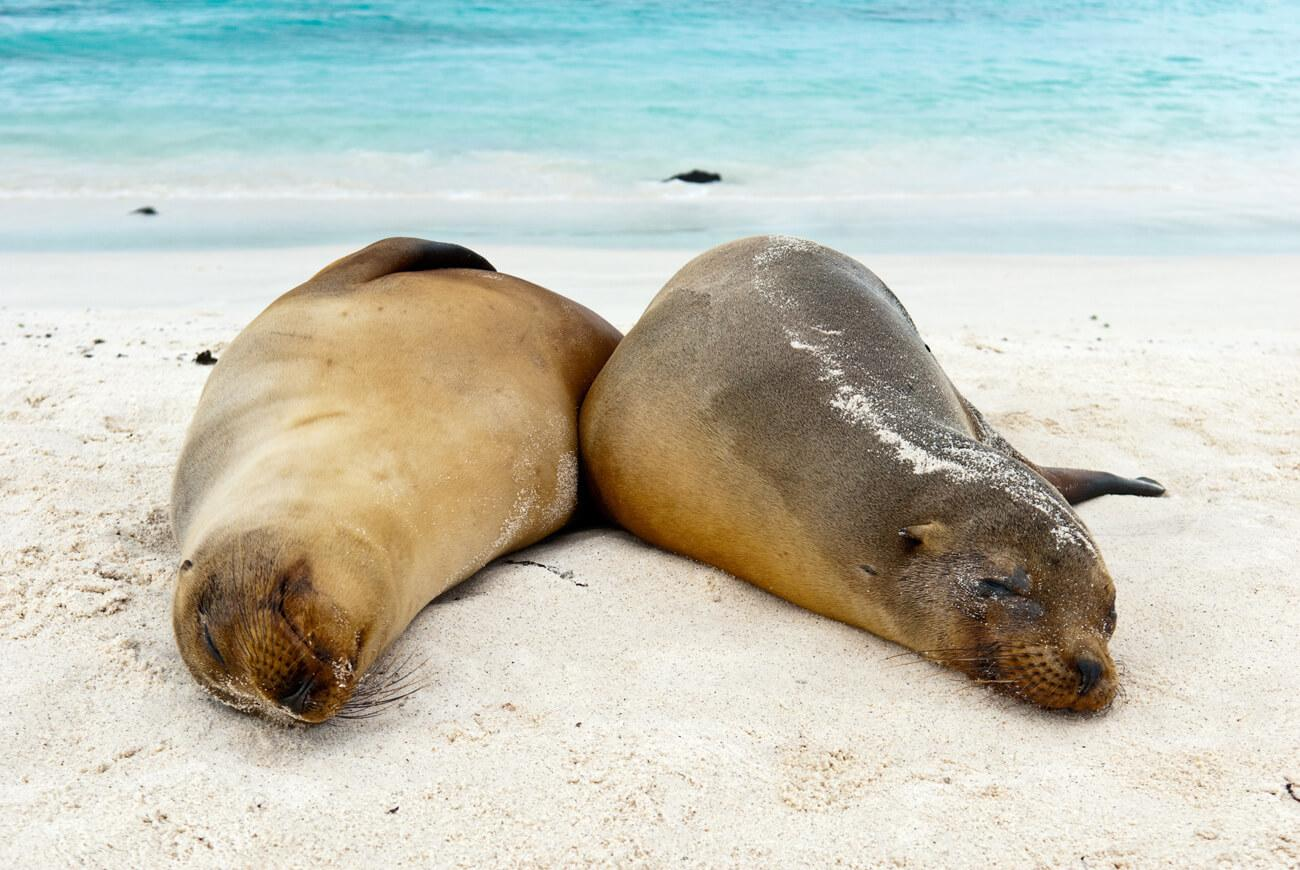 Two Galápagos sea lions rest side-by-side. © Roderic Mast