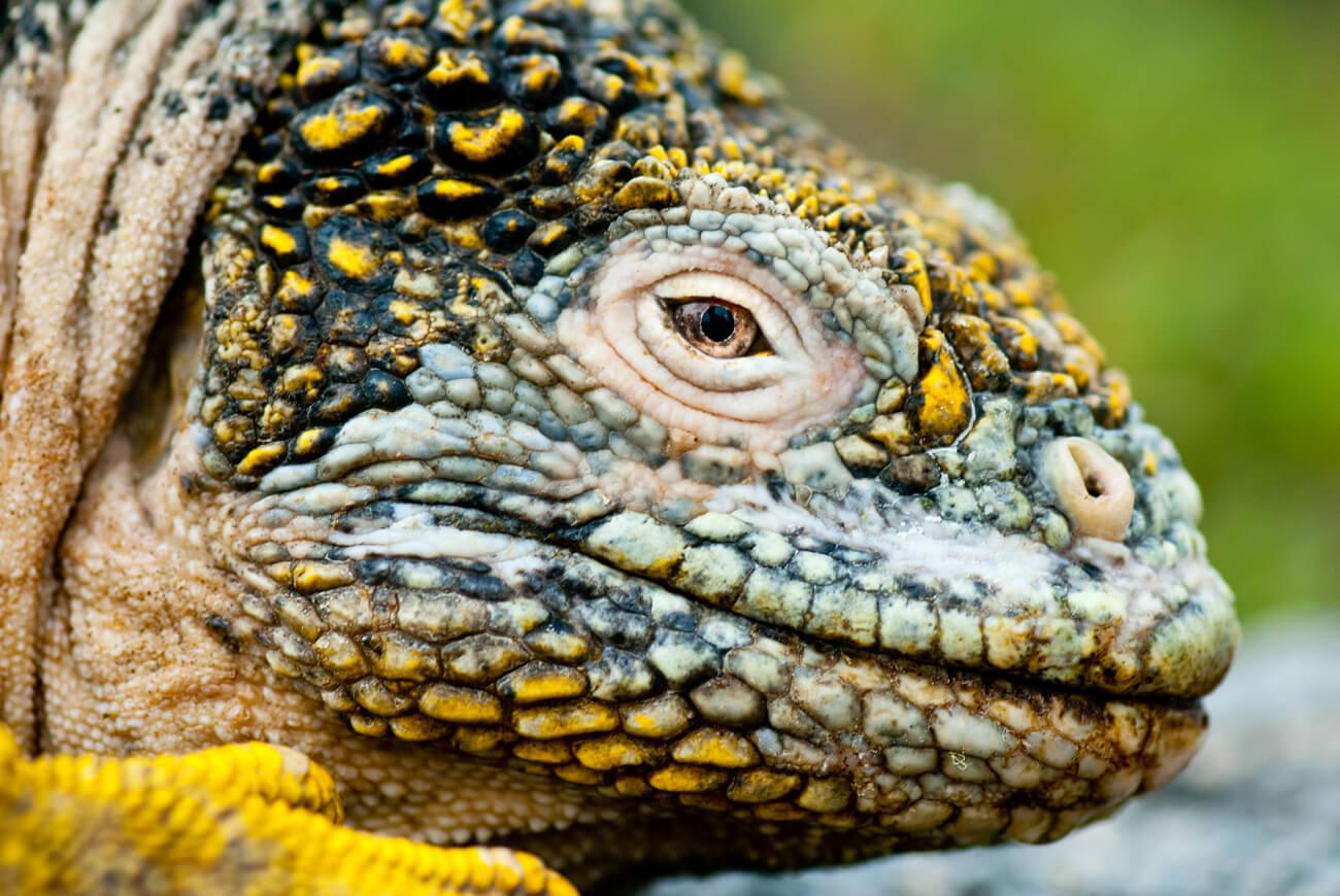 There are two species of Galapagos land iguana, endemic to the islands. © Roderic Mast