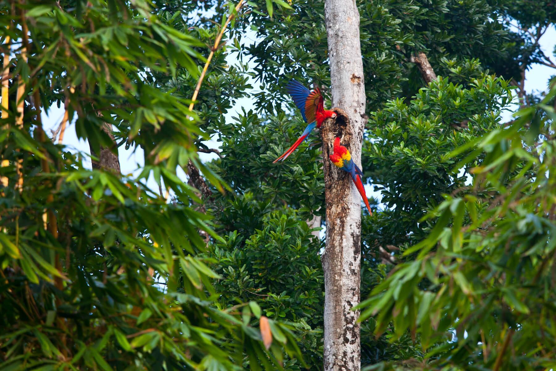 Scarlet Macaws on the Osa Peninsula. © Brian J. Hutchinson