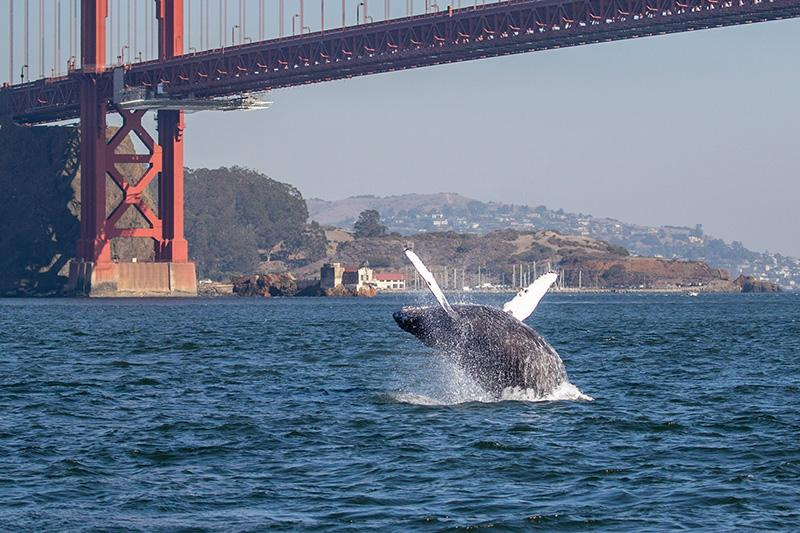A humpback whale breaches in front of the Golden Gate Bridge. © Rhys Watkin