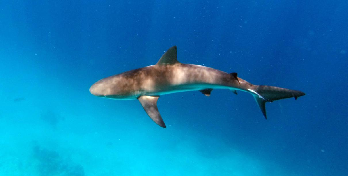 A Caribbean reef shark seen this summer. © Vailett Müller
