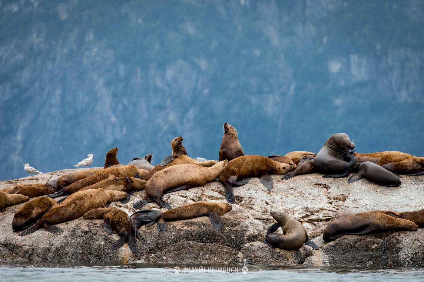 Steller sea lions rest near South Marble Island in Glacier Bay. © Jaymi Heimbuch