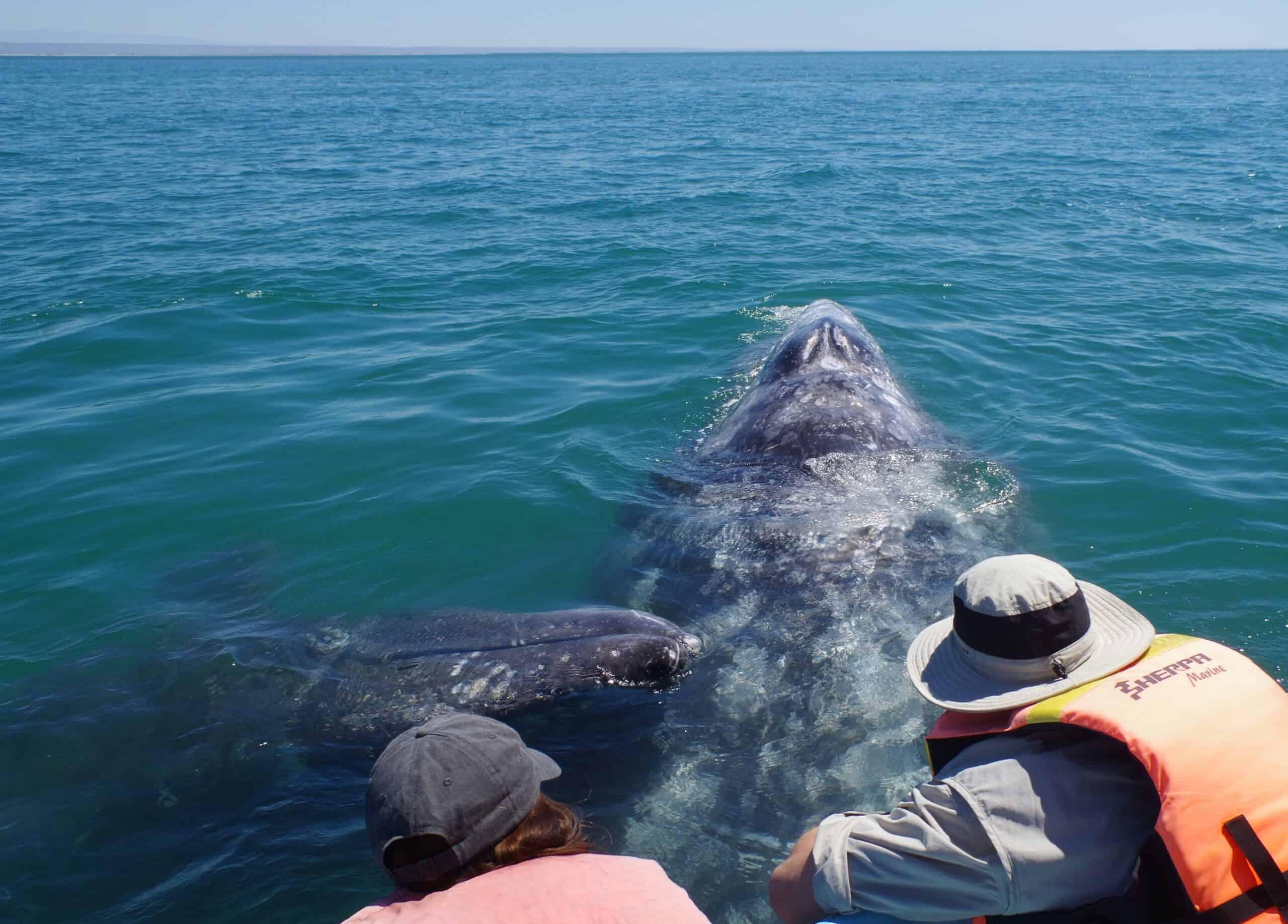 friendly gray whale in baja