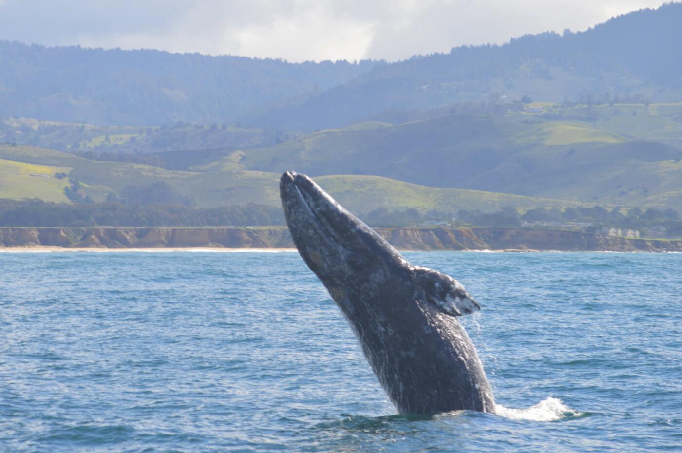 Acrobatic breaching gray whale. Photo taken on March 17th. © Peter Winch
