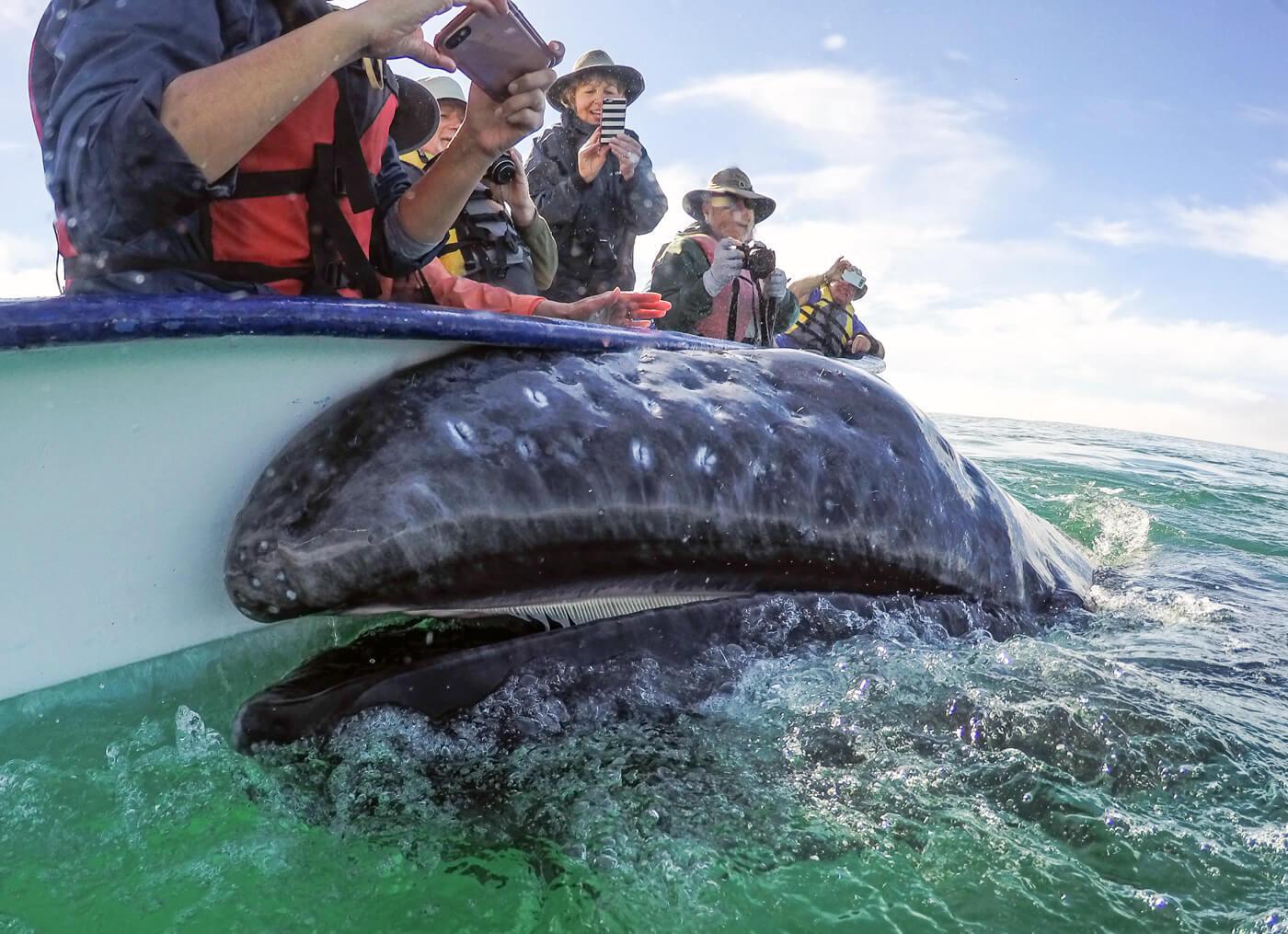 A friendly gray whale calf shows its baleen plates. © Jose Sanchez