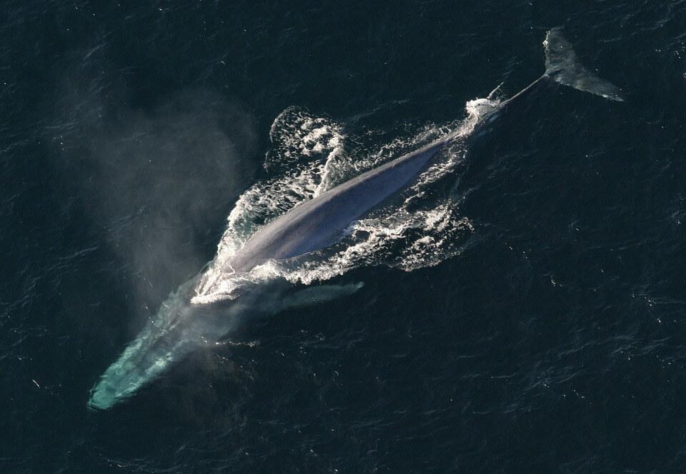 A blue whale takes a breath. © NOAA