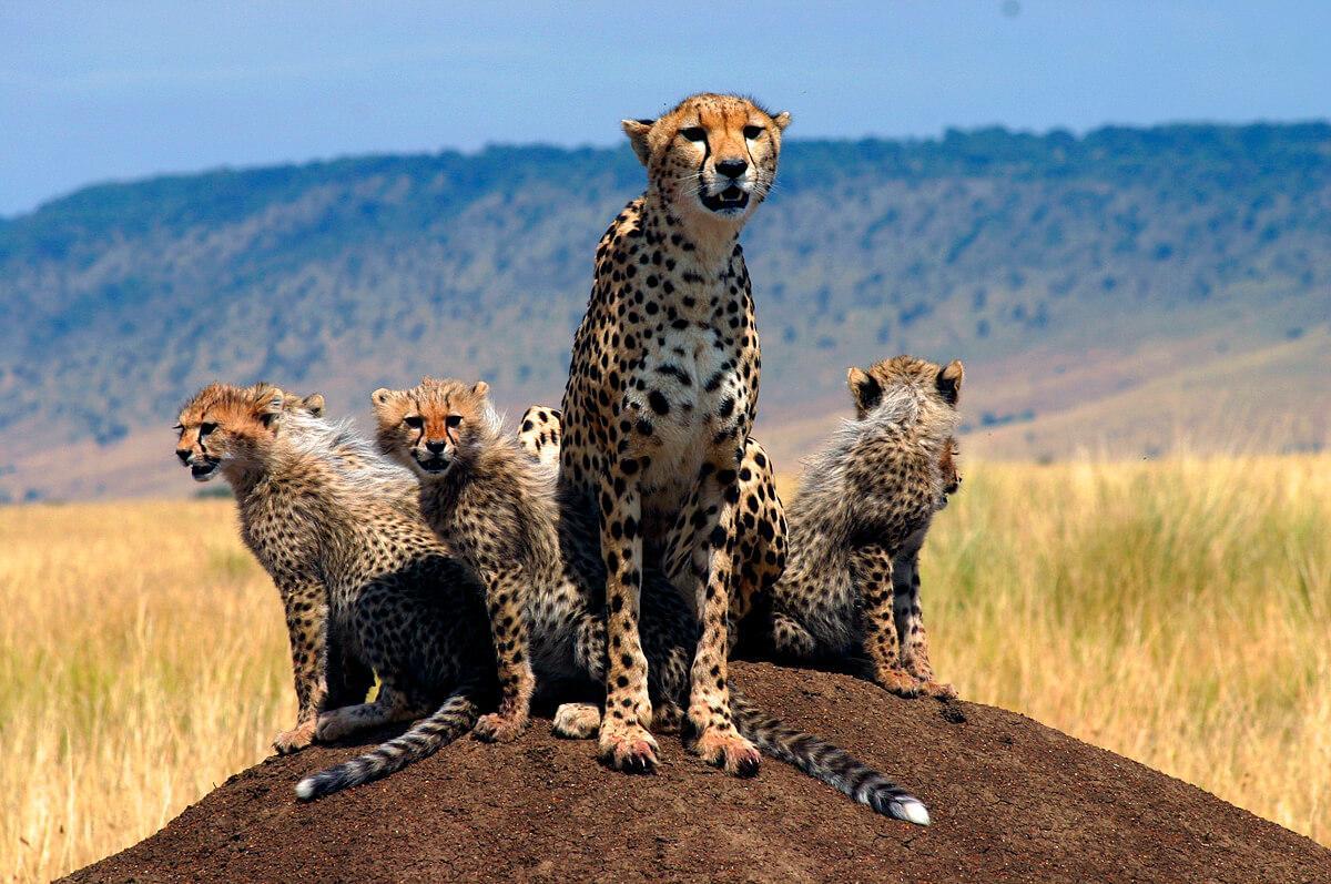 A cheetah mother and cubs on the Mara. © Wayne Sentman