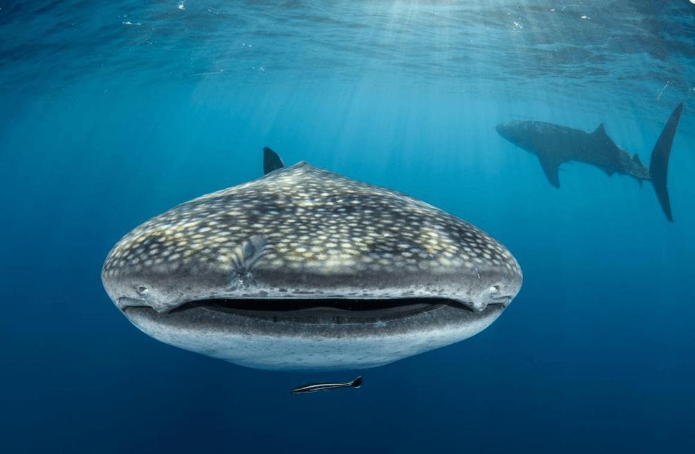 whale sharks underwater