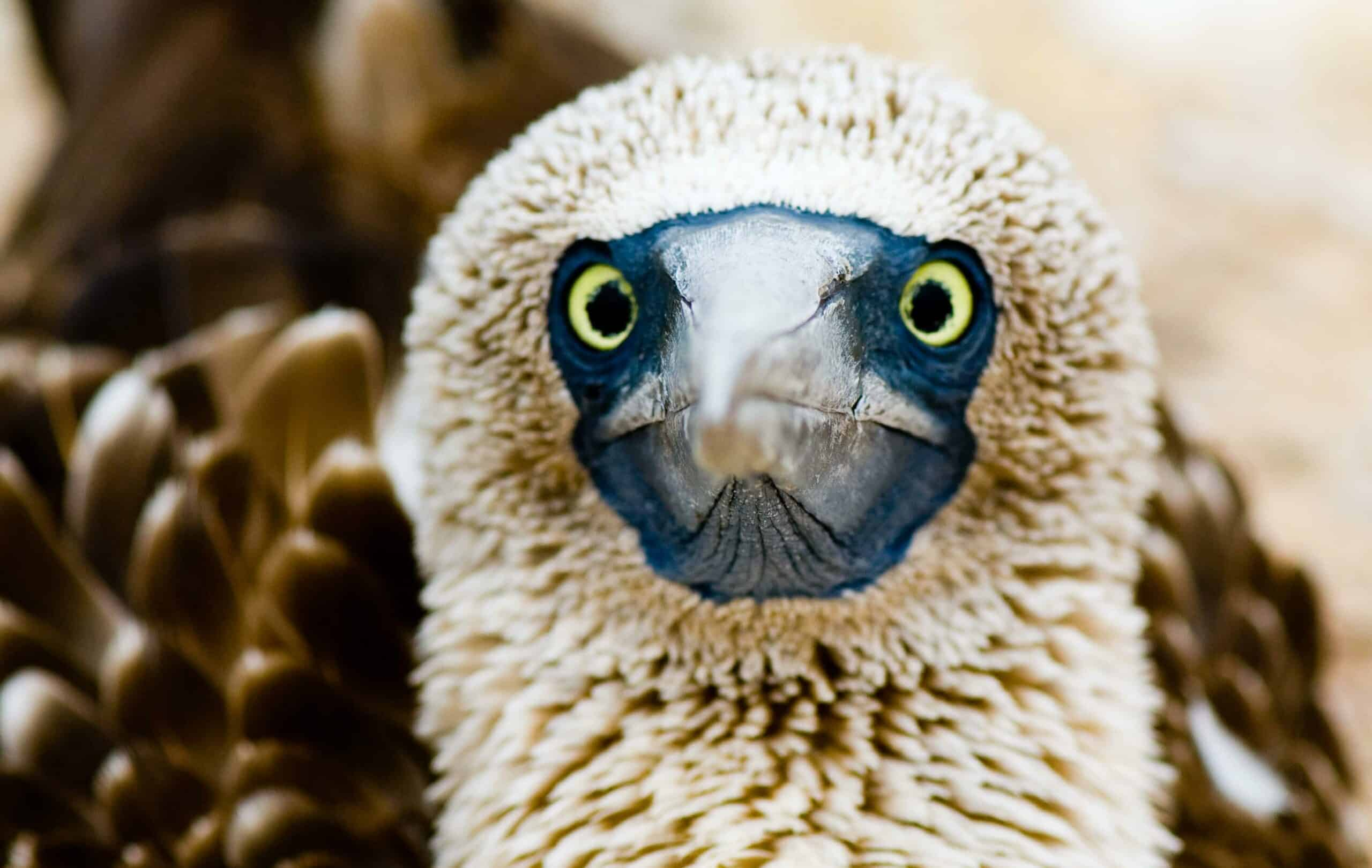 A close-up view of a Blue-footed Booby. © Roderic Mast