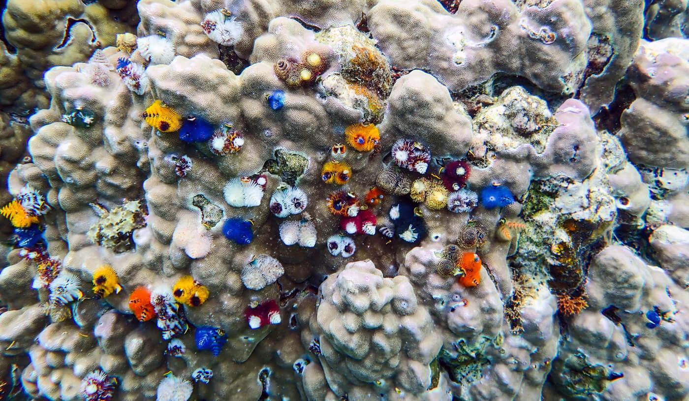 Brightly-colored Christmas tree worms protrude from the coral. © Roger Harris