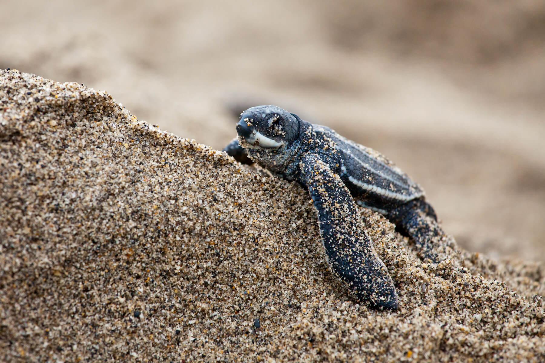 A leatherback turtle hatchling in Trinidad. © Brian J. Hutchinson