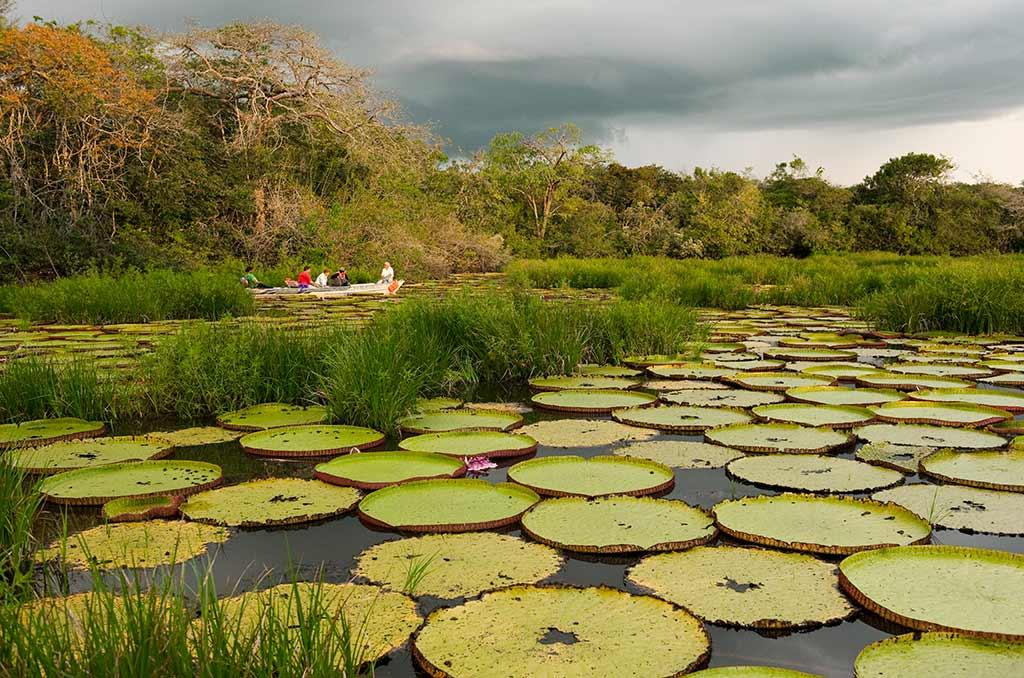 The giant water lily is Guyana's national flower. © Pete Oxford