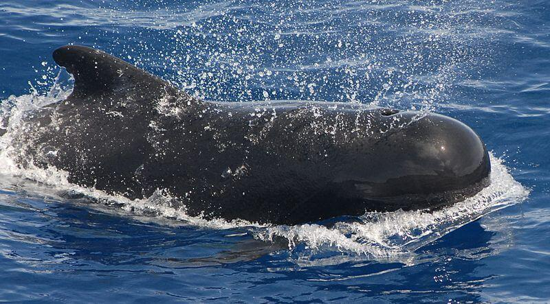 A pilot whale breaks the surface with a splash to take a breath. © Adam Li, NOAA