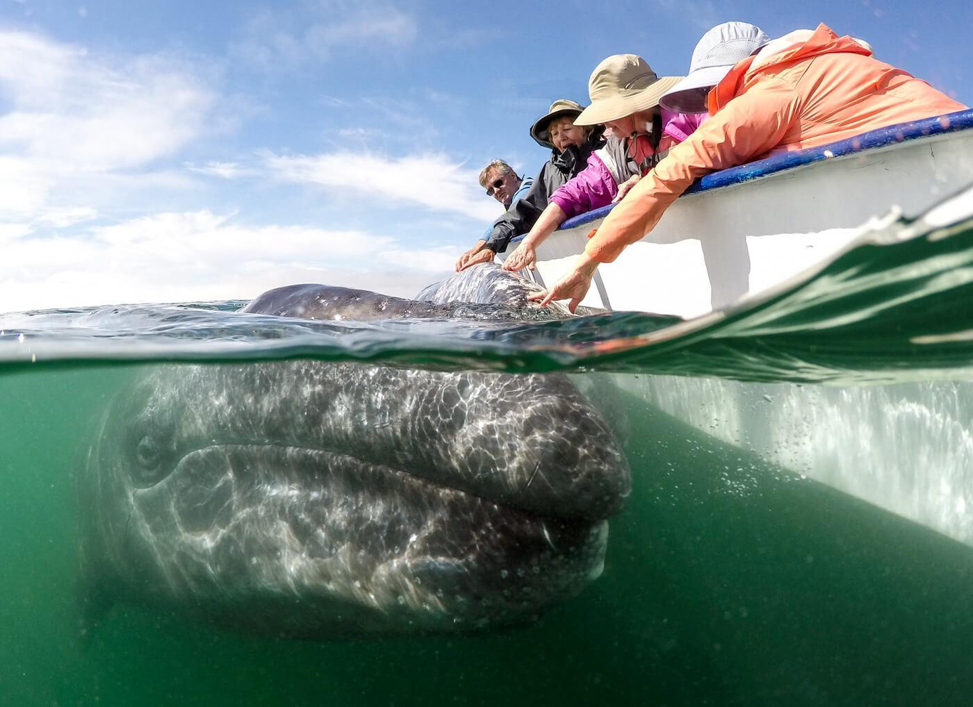 A friendly gray whale approaches our panga in Laguna San Ignacio. © Jose Sanchez