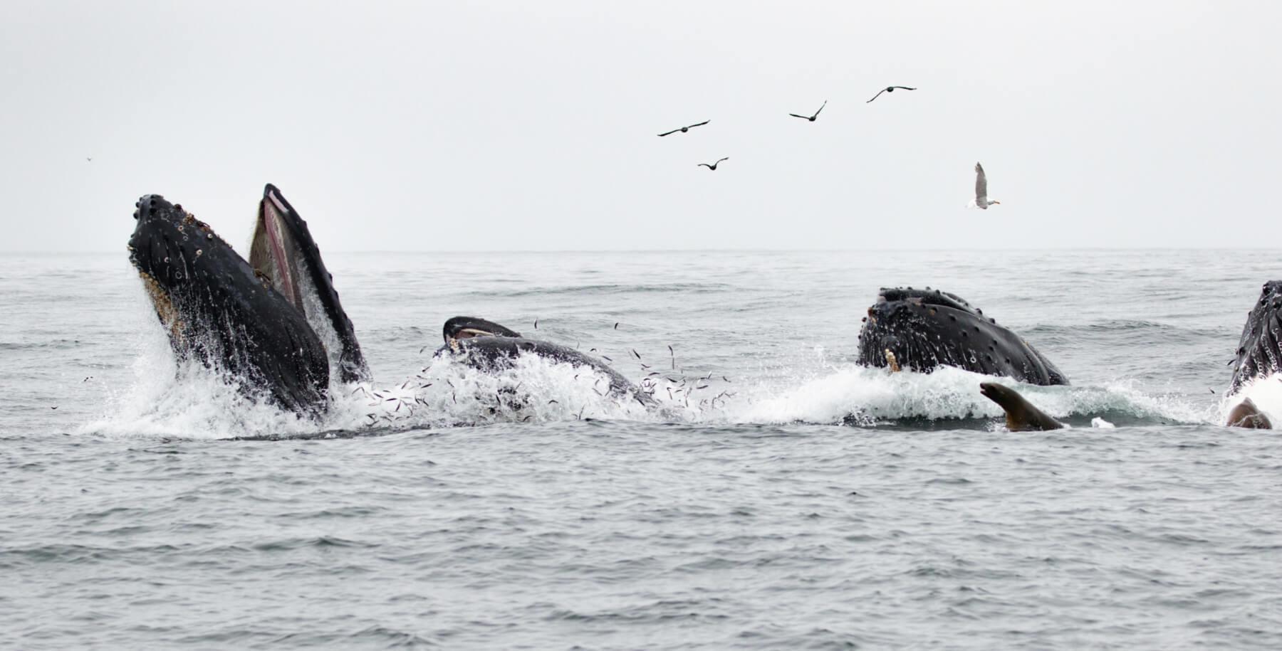 A spectacular humpback feeding frenzy on August 24. © Chris Biertuempfel