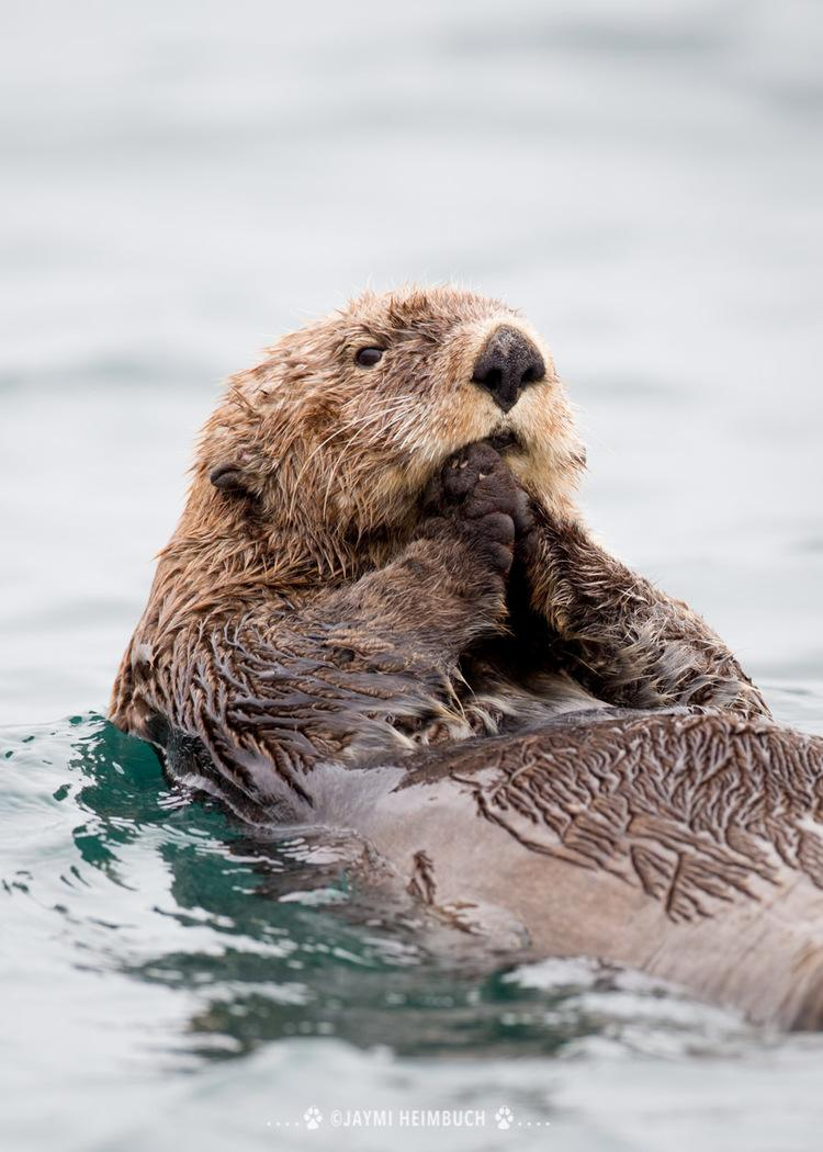 sea otter on the coast of Alaska