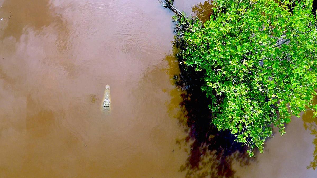 An American crocodile in the lagoon behind the field station. © Eric Ramos
