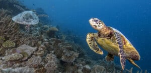 Coral Reef With Turtles