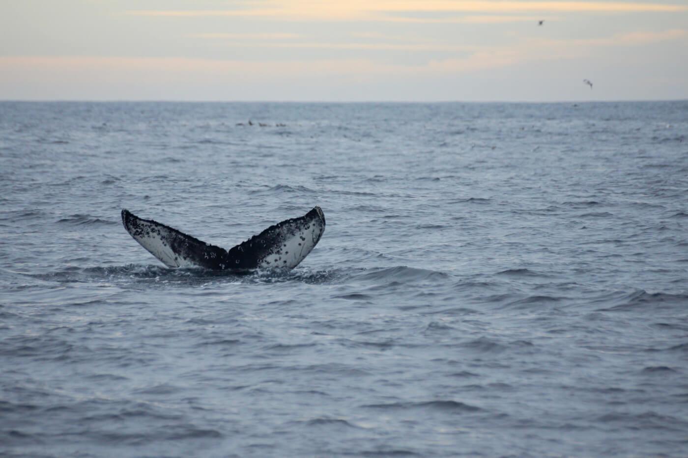 Southbound gray whale flukes 9 miles offshore. © Chris Biertuempfel
