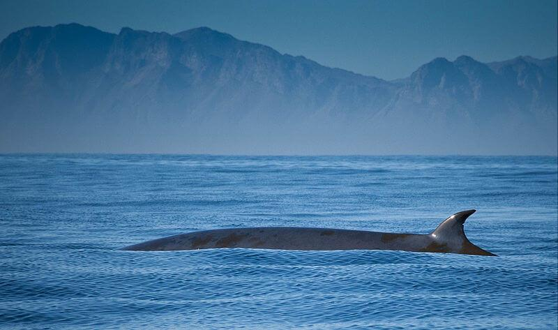 A Bryde's whale on the surface of the water. © Jolene Bertoldi [CC BY 2.0 (https://creativecommons.org/licenses/by/2.0)]