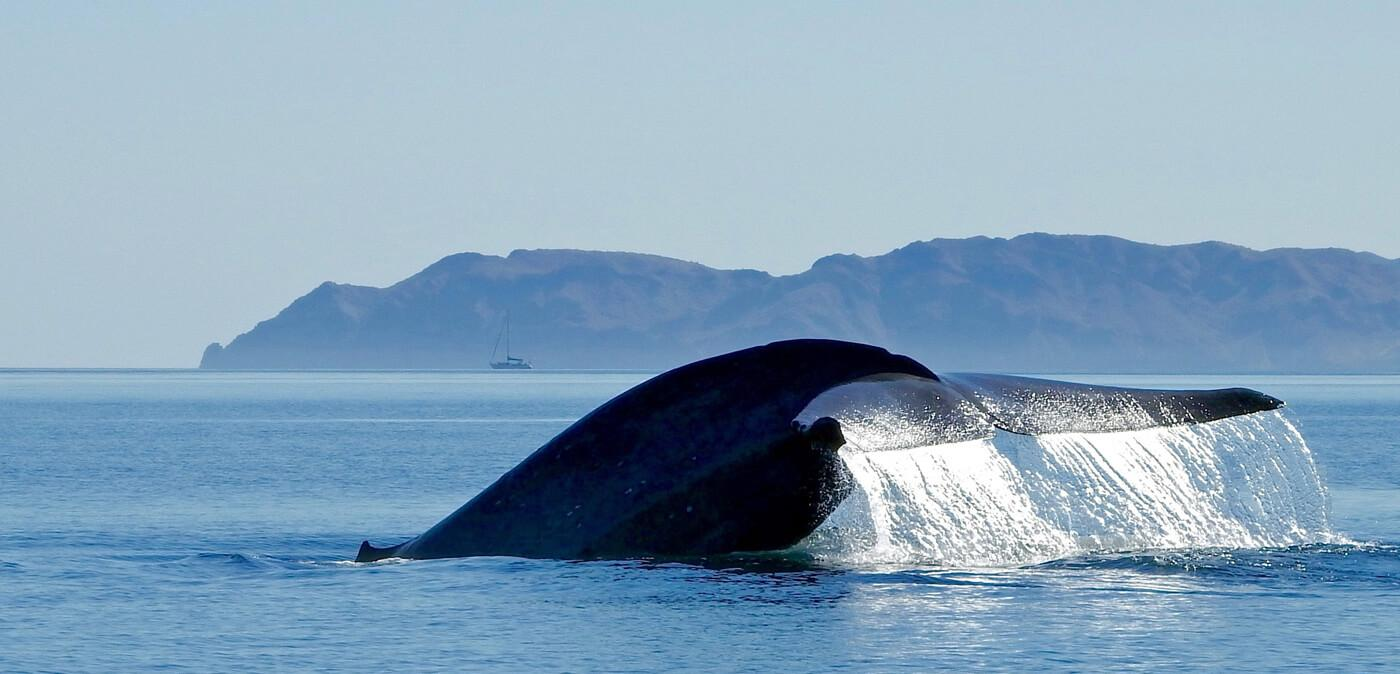 The massive fluke of a blue whale in the Sea of Cortez. © Roger Harris