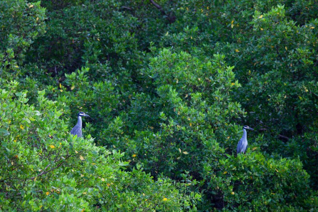 Herons in Costa Rica