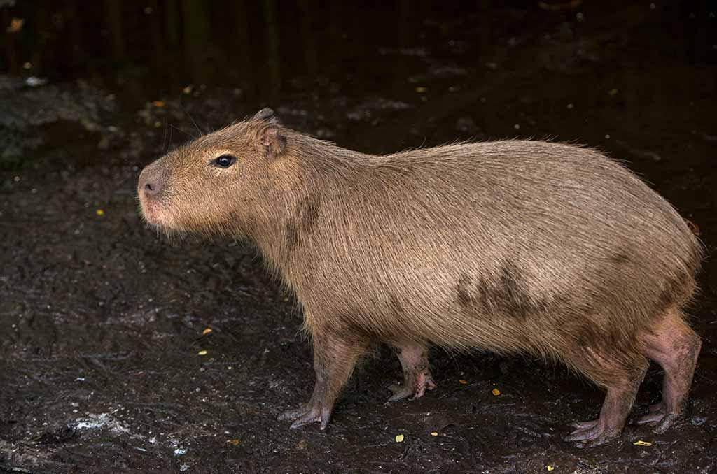 Capybaras are the world's largest rodents. © Pete Oxford