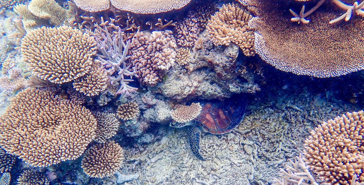 A green turtle rests beneath corals in Beqa, Fiji. © Roger Harris