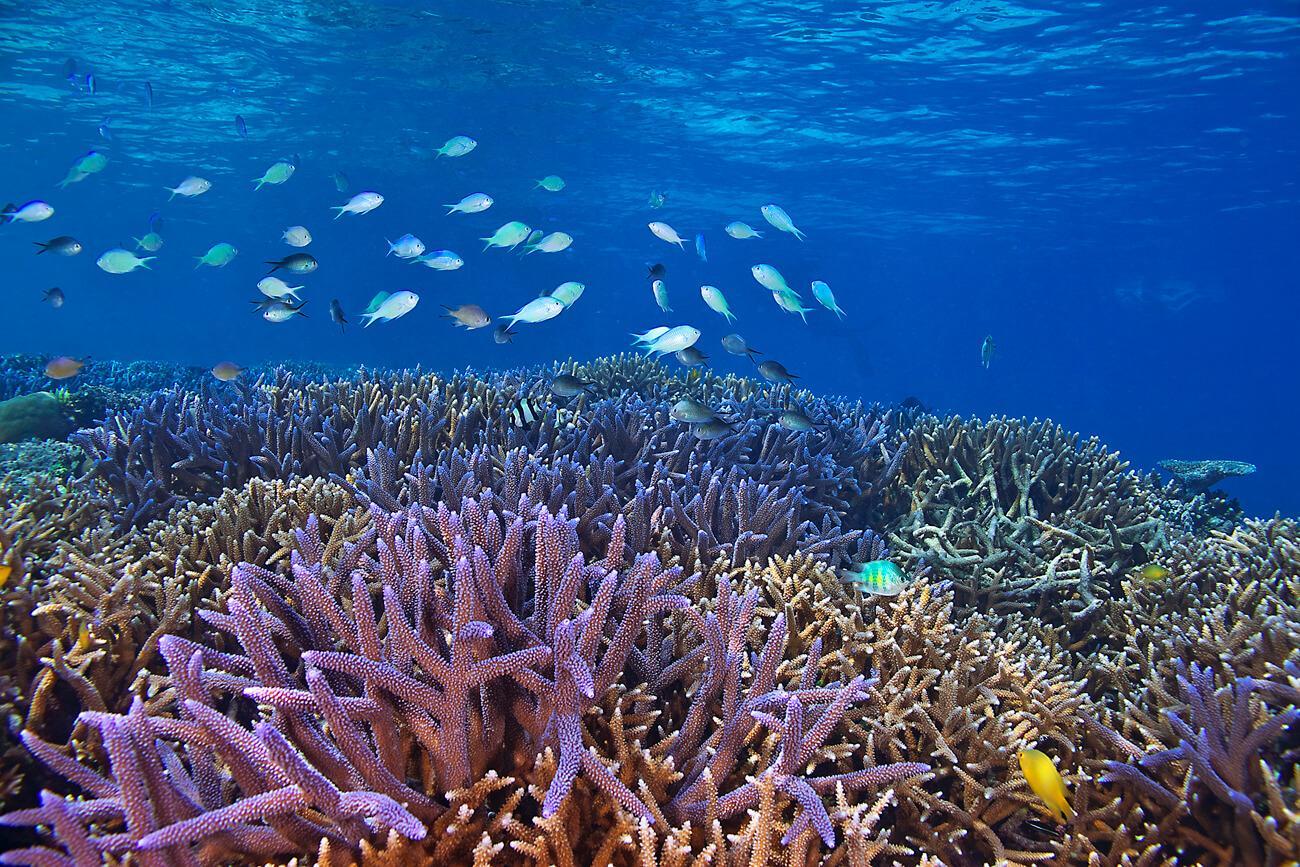 Reef fish swim above vibrant hard corals in Palau. © Keoki Stender