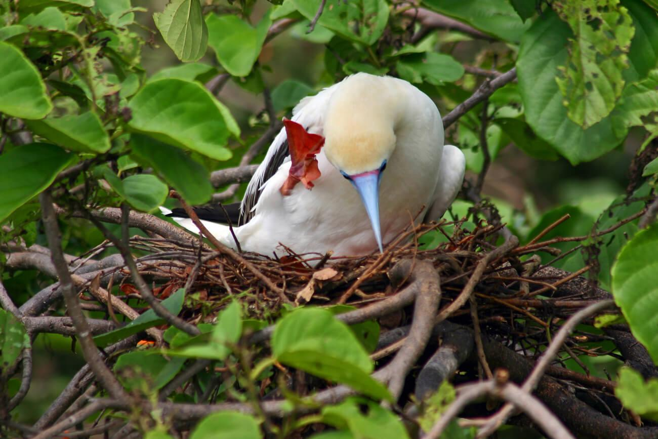 Half Moon Caye supports the only viable colony of Red-footed Boobies in the western Caribbean. © Wayne Sentman