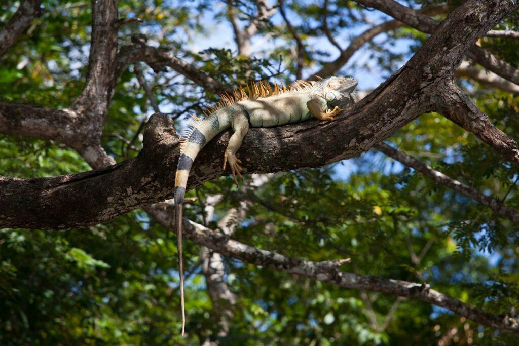 A green iguana in Costa Rica