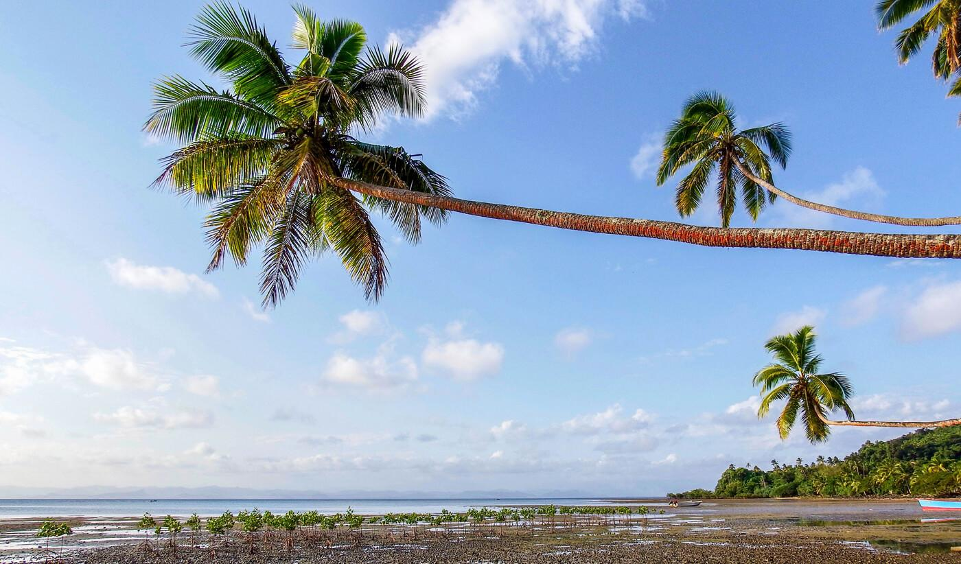 Palm trees and newly planted mangroves at Beqa Lagoon Resort. © Roger Harris