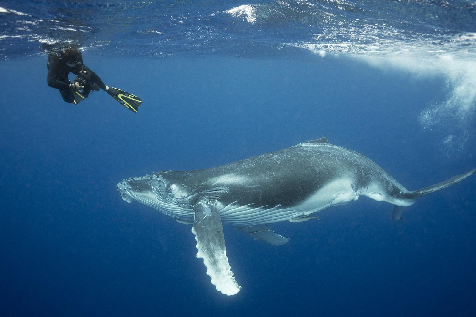 snorkeler with a humpback whale in Tonga