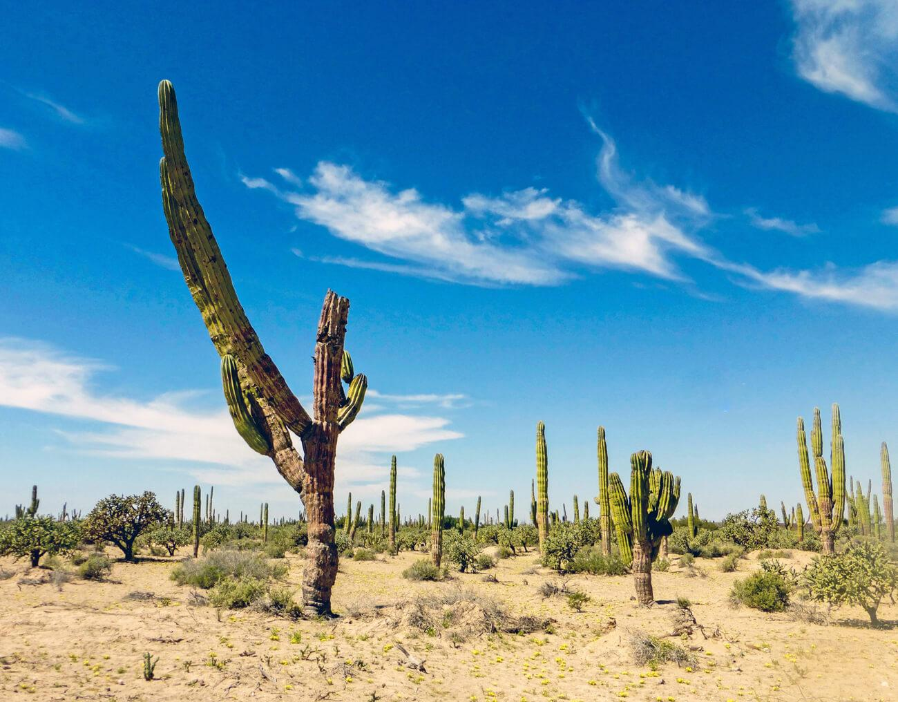 Cardon cactus dominate the Vizcaino Desert landscape. © Roger Harris