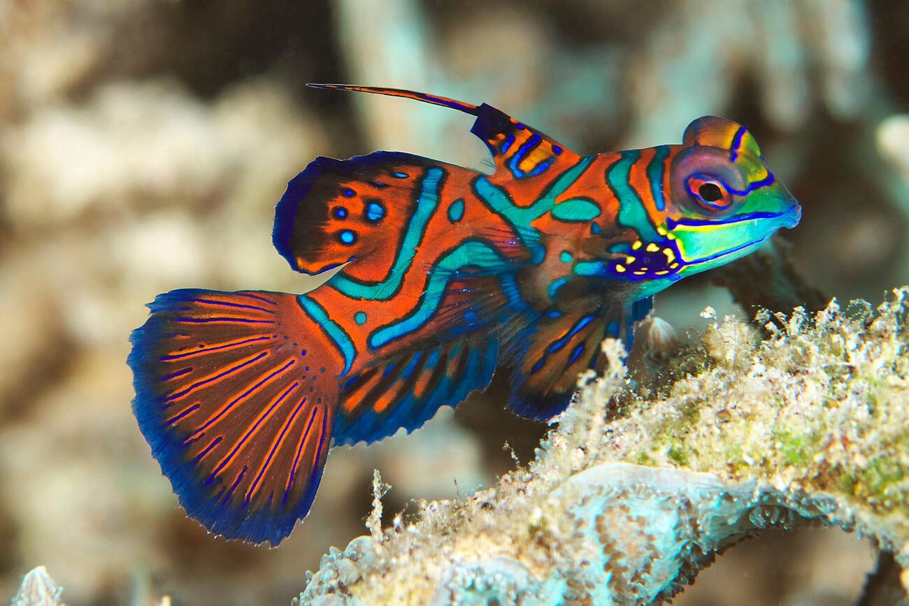 Mandarinfish are one of more than 1300 species of reef fish in Palau. © Keoki Stender