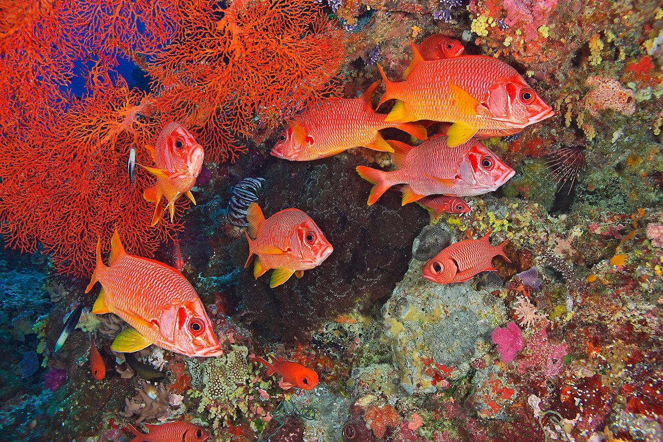 A school of saber squirrelfishes at one of Palau's diverse snorkel sites. © Keoki Stender
