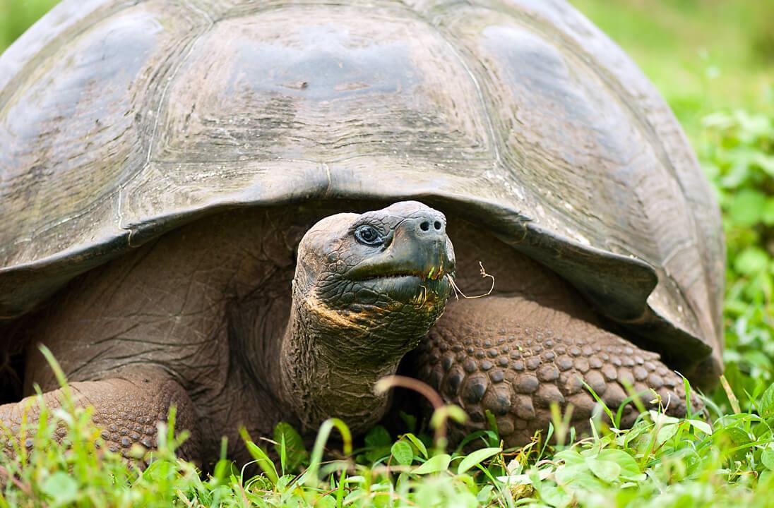 A wild Galápagos giant tortoise on Santa Cruz Island. © Roderic Mast