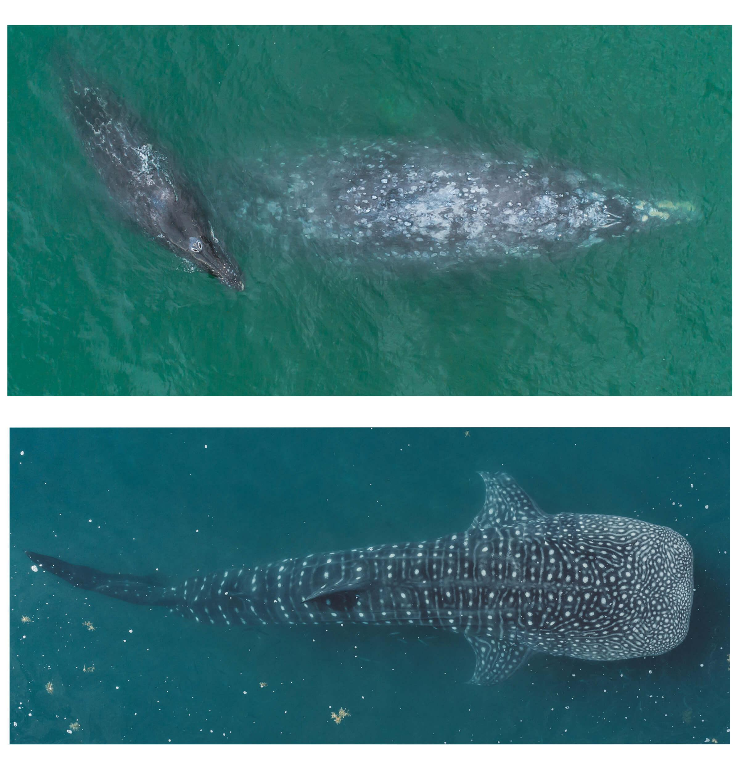 gray whales and whale shark in Baja
