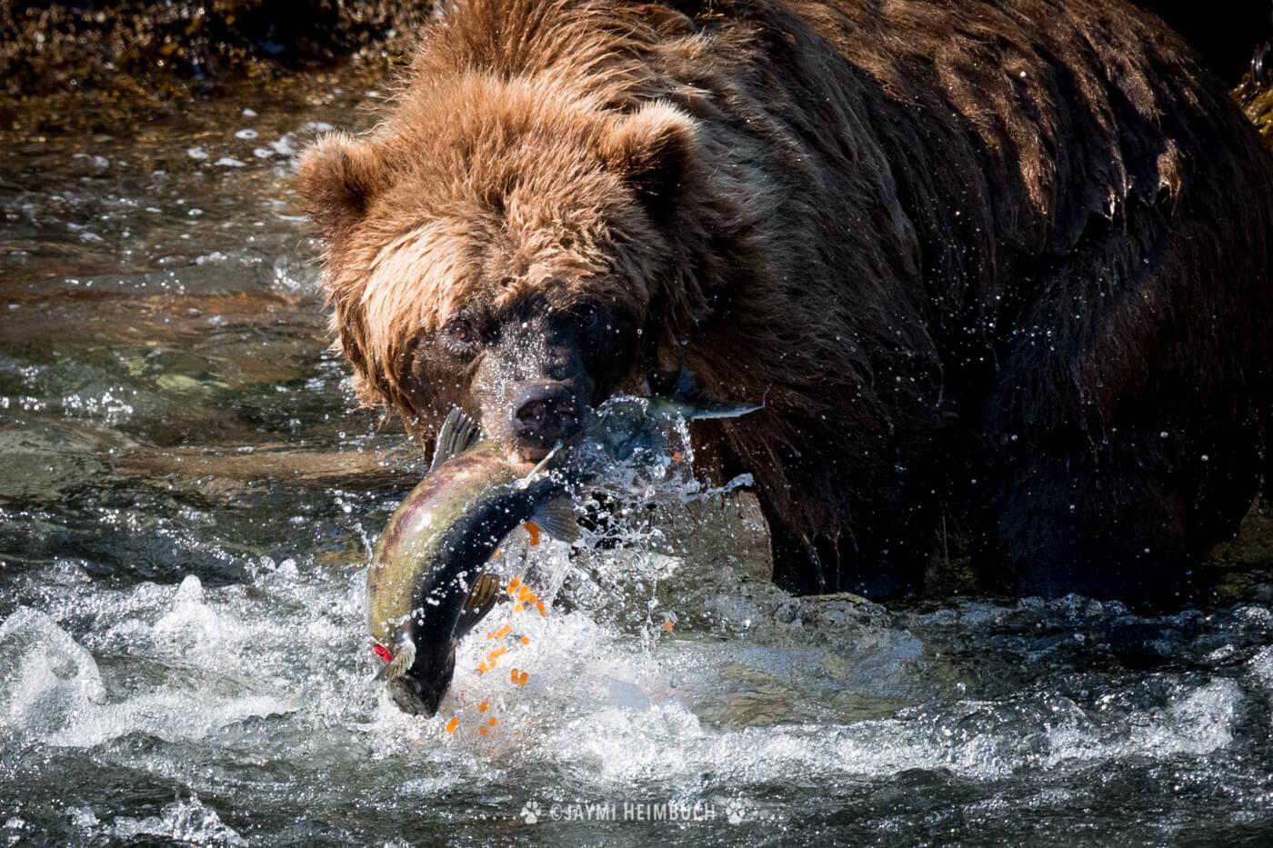 A coastal brown bear catches a gravid salmon. © Jaymi Heimbuch