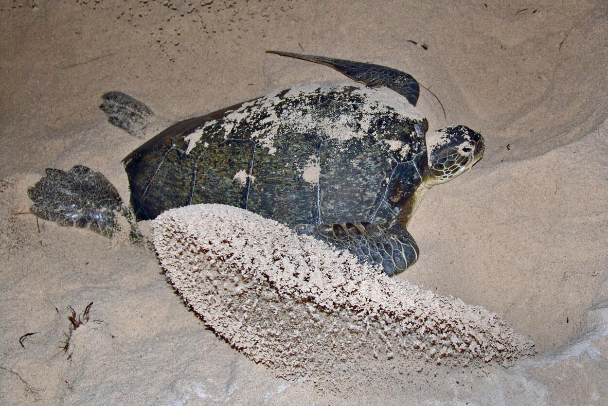 We'll dedicate two nights to patrolling for nesting sea turtles. © Sergio Romero Torras