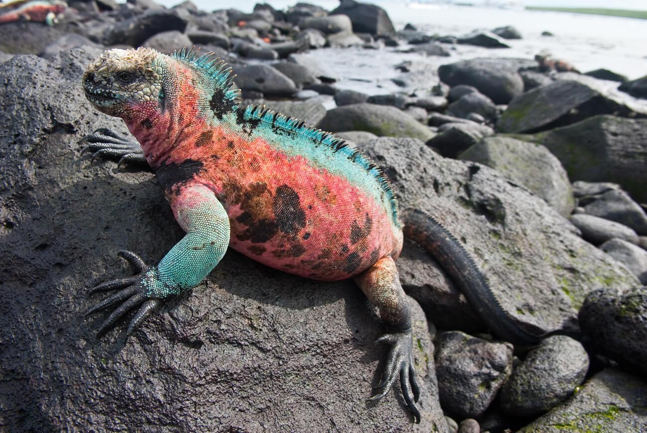 A brightly colored marine iguana, typical of those on Espanola Island. © Roderic Mast
