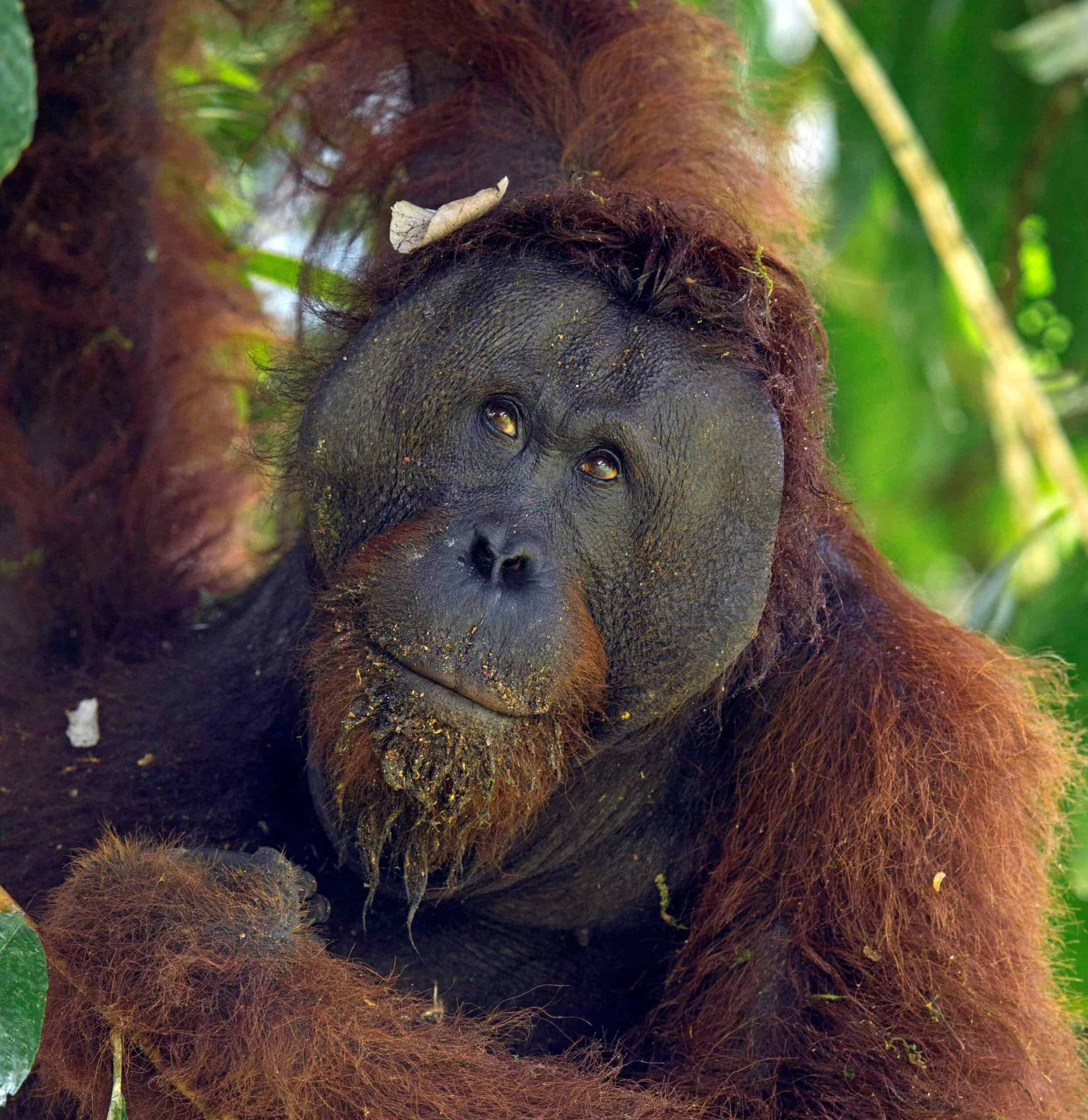 Borneo is one of the only places to see wild orangutans. © Charles Ryan