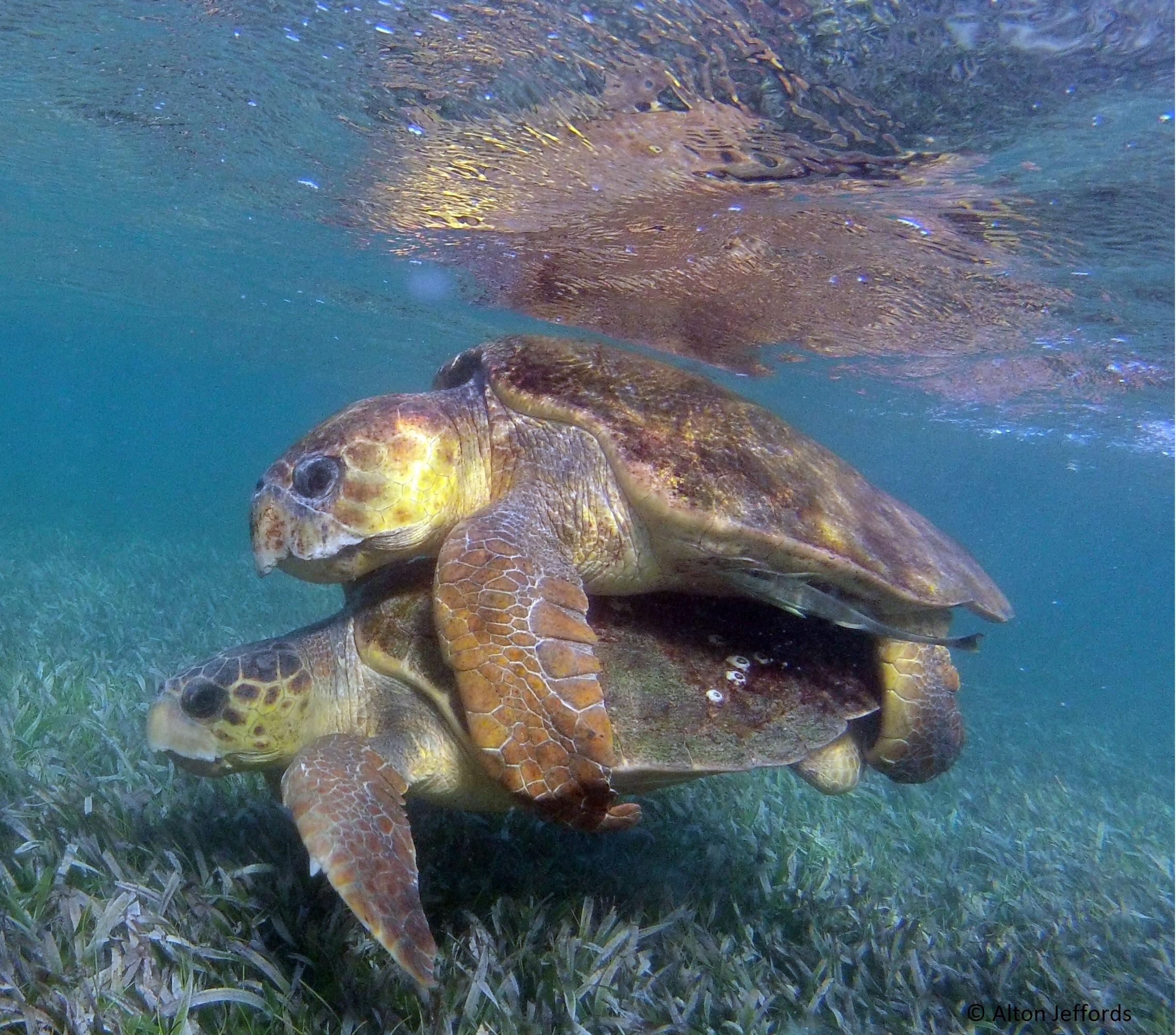 Loggerhead turtles mating at Turneffe Atoll. © Alton Jeffords