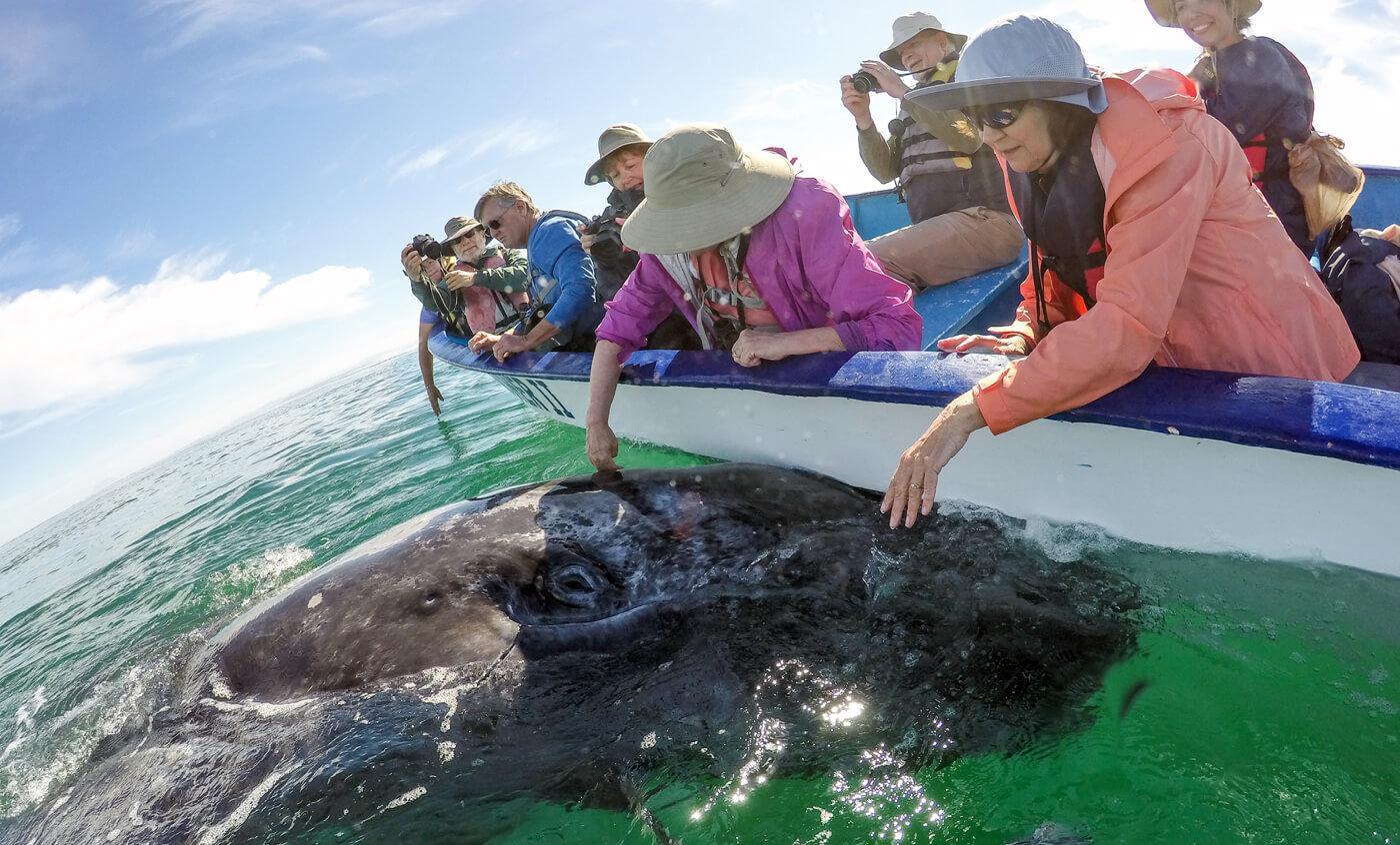 A friendly gray whale approaches our panga. © Jose Sanchez