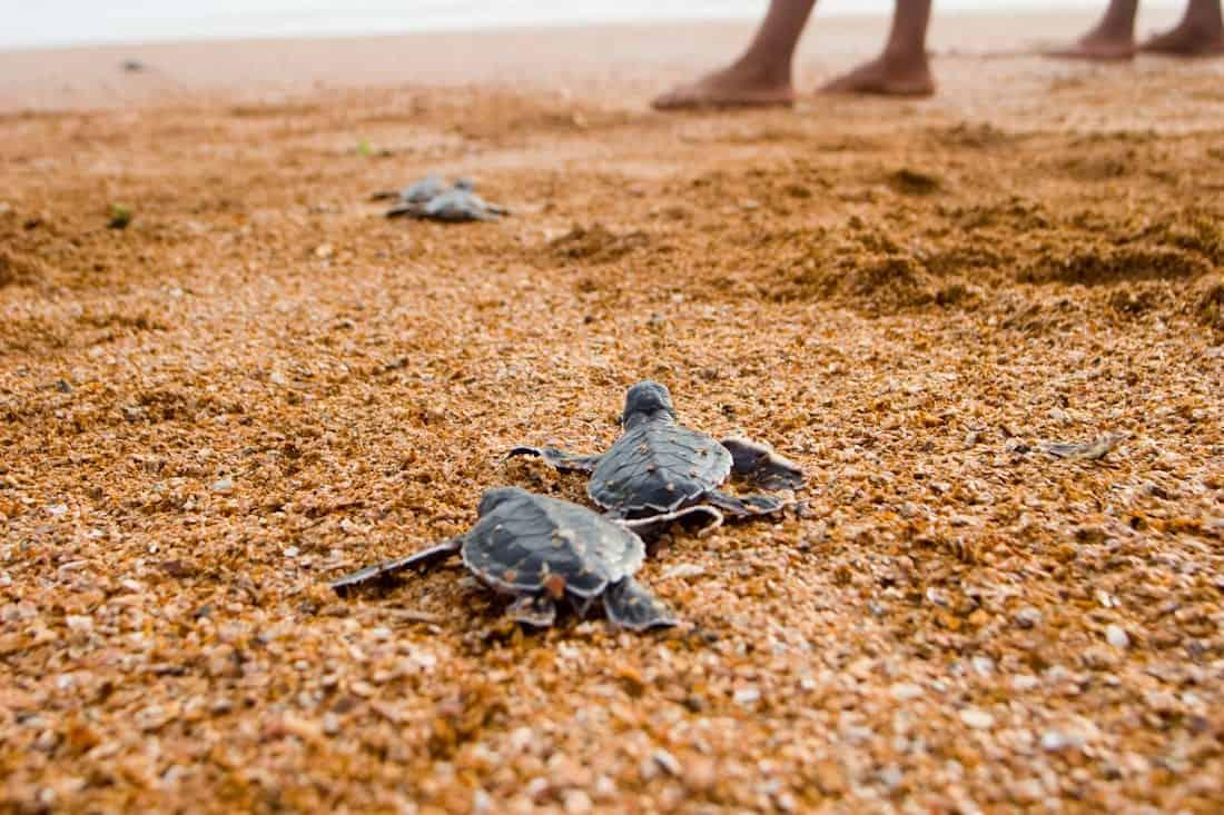 green-sea-turtles-guyana