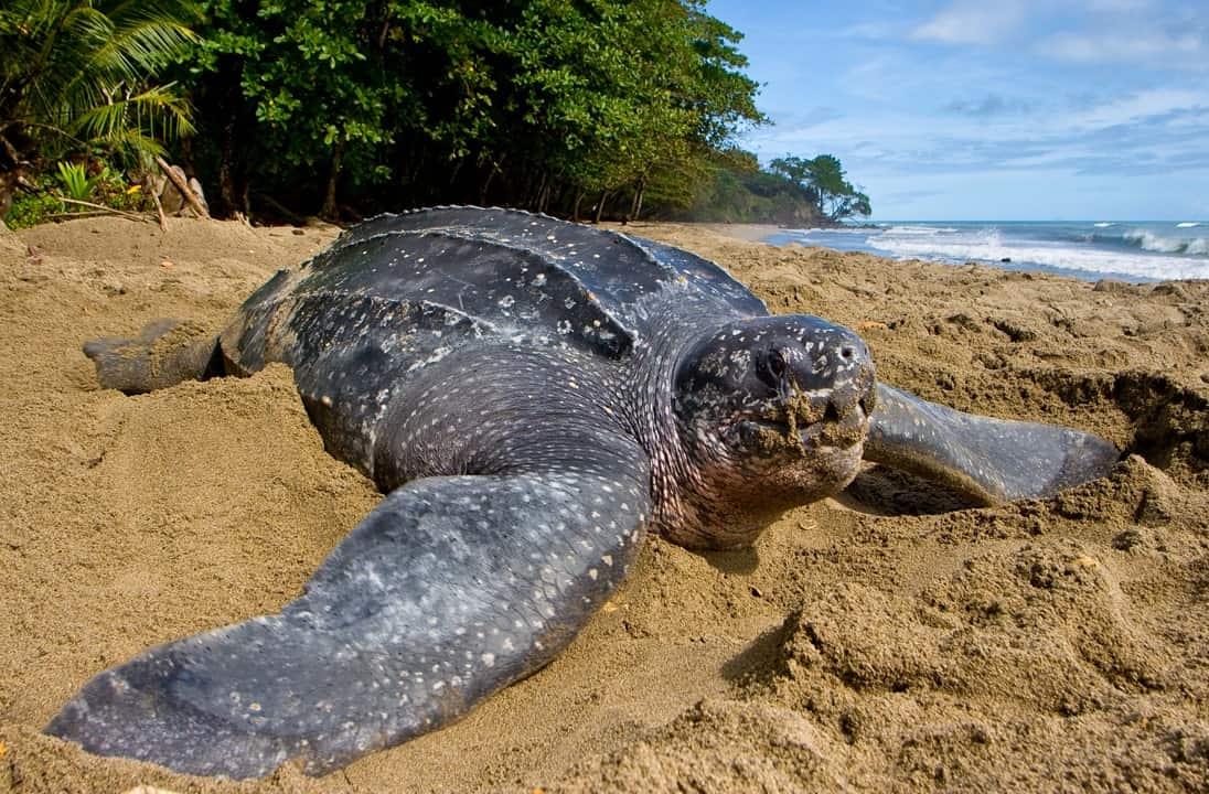 Leatherback Sea Turtle in Trinidad